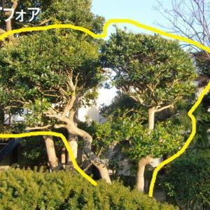 実家庭の剪定 ~ 金木犀、モチノキ、サンゴジュ ~