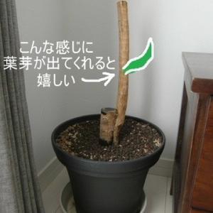 ドラセナの挿し木、その後。パート2