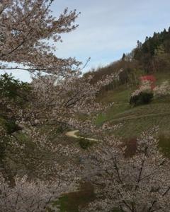 桜から花桃