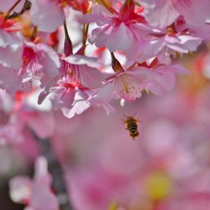 2020年 近所の河津桜