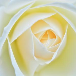 近所の薔薇2