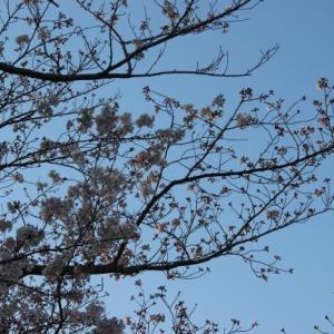 桜の散歩の道