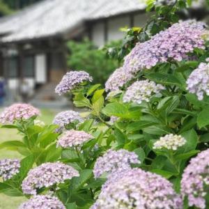 紫陽花便り