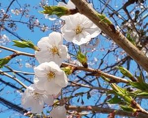 桜満開の下