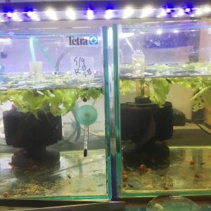 稚魚育成水槽