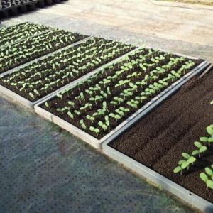 ホームランメロン播種一週間