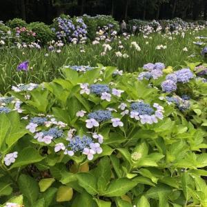 花菖蒲園と紫陽花