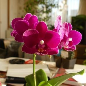 ミニ胡蝶蘭を買う