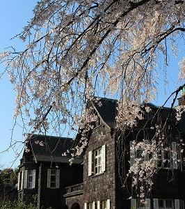 旧古河庭園と六義園のしだれ桜