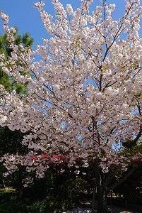 幻の『(八重)桜を見る会』と在宅勤務のその後