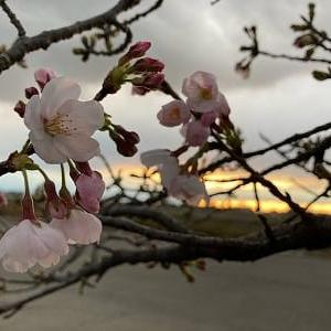 散歩の途中で見た桜(ソメイヨシノ)