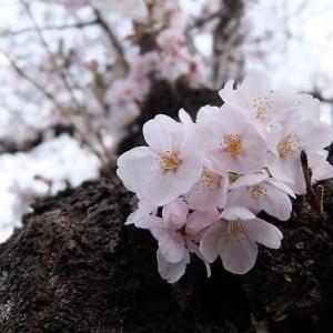 お花見のタイミング