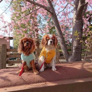 白子桜を見に行きました