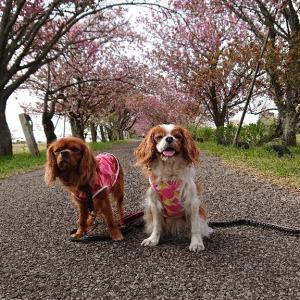 4.21  秋元牧場に八重桜を見に行きました