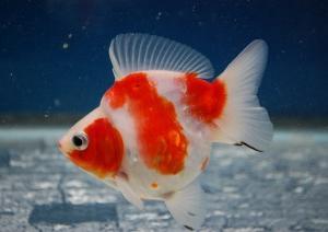 ☆01月24日☆入荷金魚のご紹介
