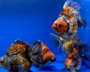 ☆01月20日☆入荷金魚のご紹介