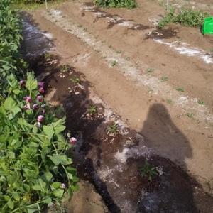 「夏野菜植わりて空を仰ぎけり」