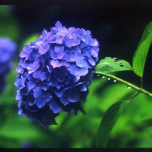 「稲の花農薬を撒く無人ヘリ」