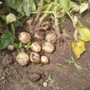 試し掘る新馬鈴薯の丸々と