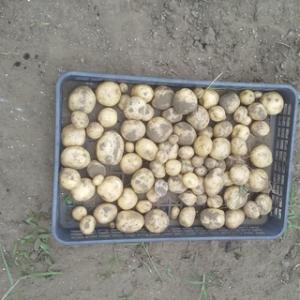 馬鈴薯掘り日に干し湯を沸かしけり