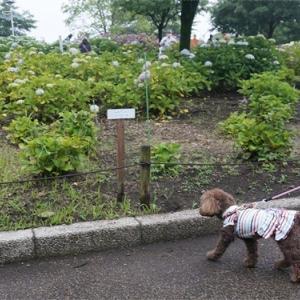 紫陽花が一杯咲いてる公園に行ったよ♪