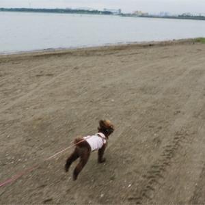 11才だけど砂浜だって元気に走ります♪
