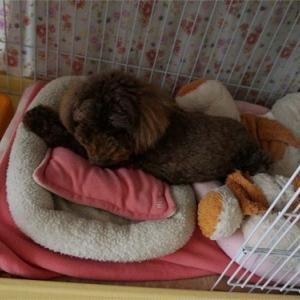 トイプードルあるある寝ぐせ♪