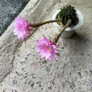 サボテンの咲き方(笑)