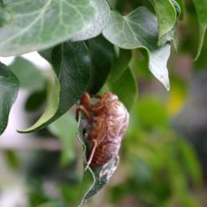 冬の蝉、冬の蔦