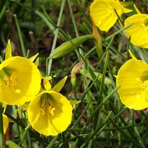 水仙の花が風に揺れている
