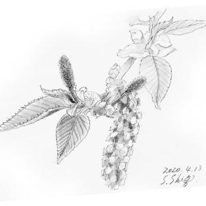 ヤシャブシの新芽を描く