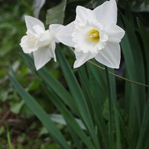 水仙の花の終わるころ