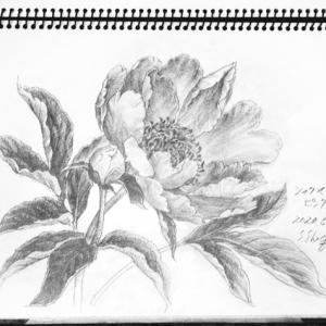 シャクヤクの花 咲き揃う
