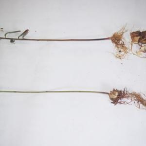 ササユリの花を咲かせたら、きっと何かが変わる