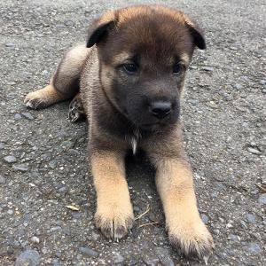 有色紀州犬Baby