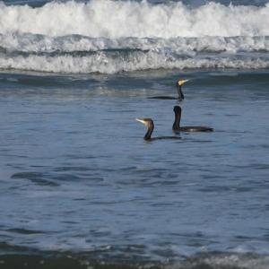 カワウが海にやってきました
