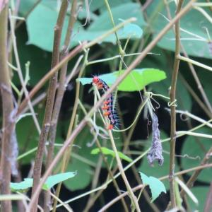 フクラズズメの幼虫