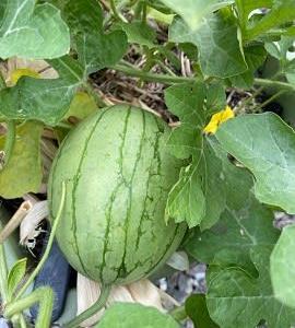 ズッキーニの西瓜