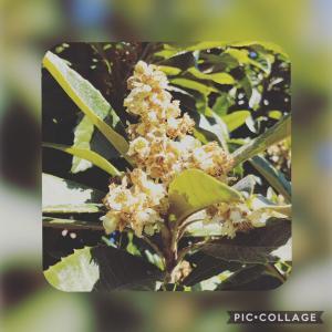 ビワの花と、幼稚園冬の遠足☆
