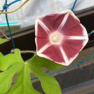 お花☆DAISOの種から朝顔の名花『團十郎』みたいな色の朝顔咲いた