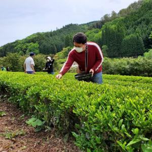 那須野紅茶の茶摘みに行って参りました☆