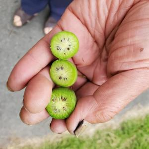 ドリカムの歌にも出た、あの知られざる果実で地域活性