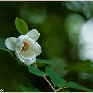 付知峡に咲くオオヤマレンゲ