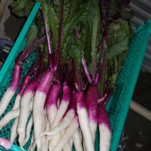 日野菜の出荷