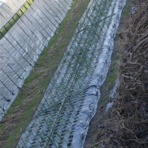 晩生の玉ねぎの定植
