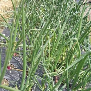 紫玉ねぎと晩生玉ねぎ畑の様子