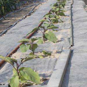 下田茄子の定植