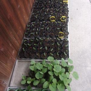 かぼちゃ苗の定植、きゅうり(Vアーチ)苗の様子