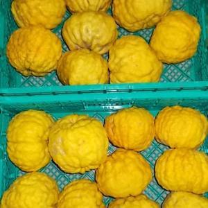 獅子柚子の出荷