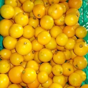 レモンの収穫~出荷